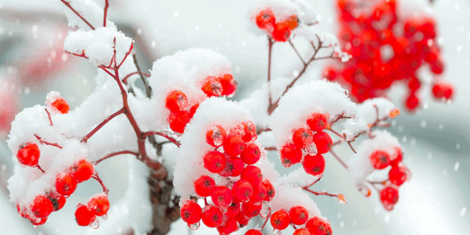 Decorative image of snow on red berries