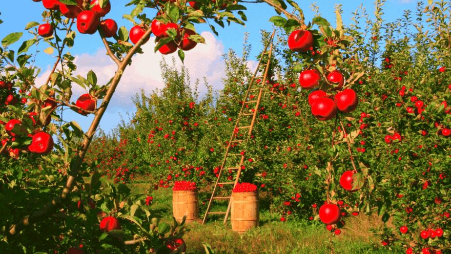 Decorative image of Lammas apples ready to be turned into Lamasool