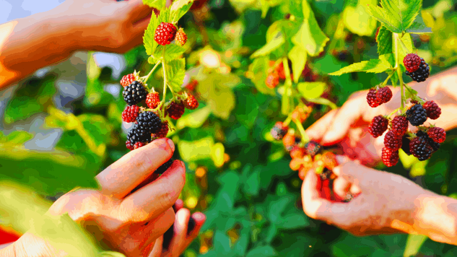 Decorative image of berries being picked to be eaten to celebrate a pagan holiday