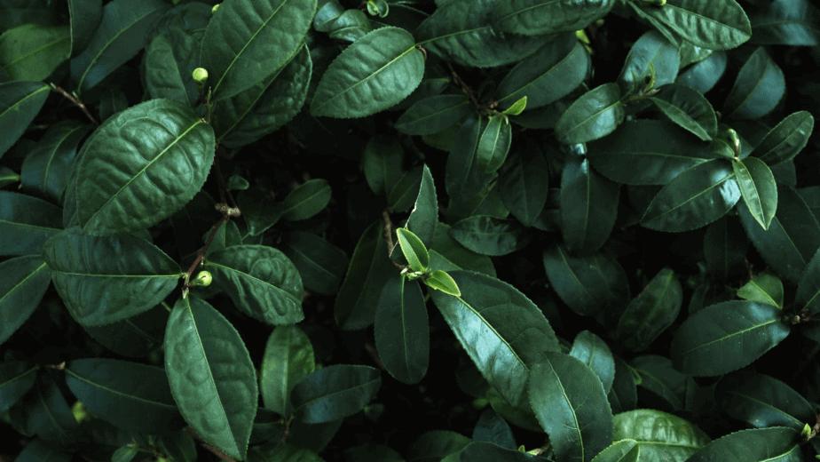 Decorative image of lush, dark green plants