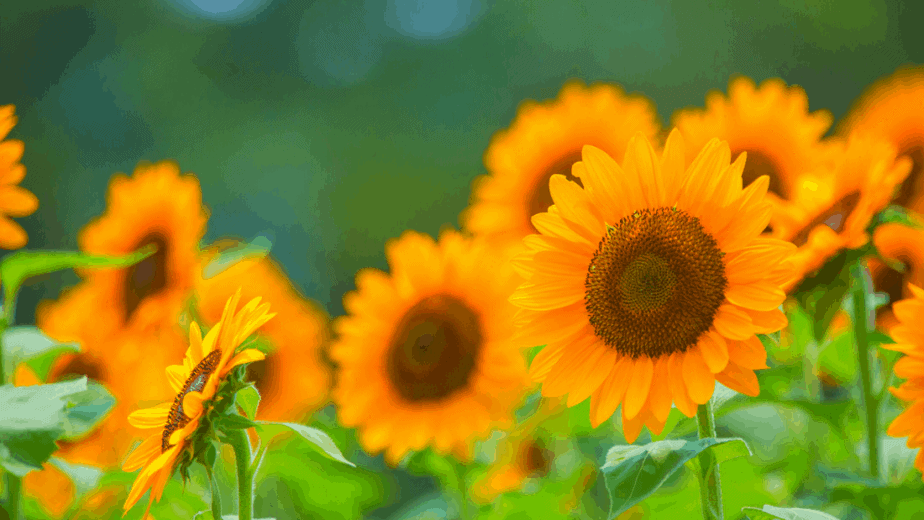 Decorative image of sunflowers for August witchcraft
