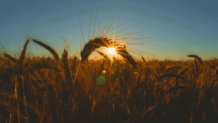 Decorative image of grains of wheat in a wheat field while the sun sets on Lughnasadh
