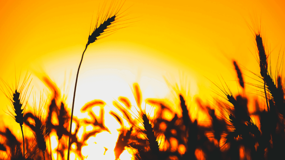 Decorative image of wheat against the setting sun for August witchcraft
