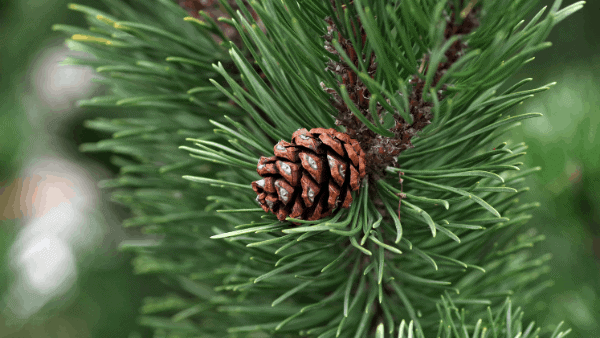 Decorative image of a pine cone and pine needles magic Christmas herbs for eclectic witches
