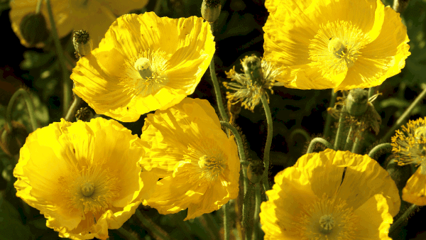 Decorative image for herbs for luck yellow poppy flowers