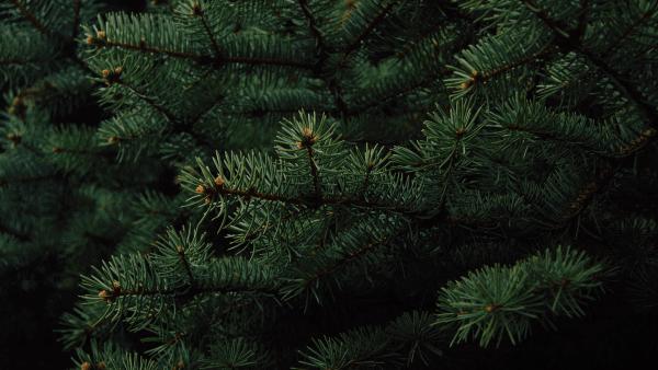 Decorative image of dark green pine needles