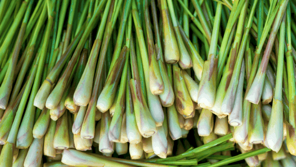 Decorative image of lemongrass roots