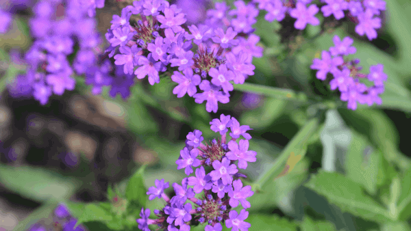 Decorative image of purple vervain