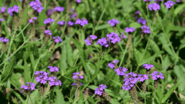 Decorative image of purple verbena