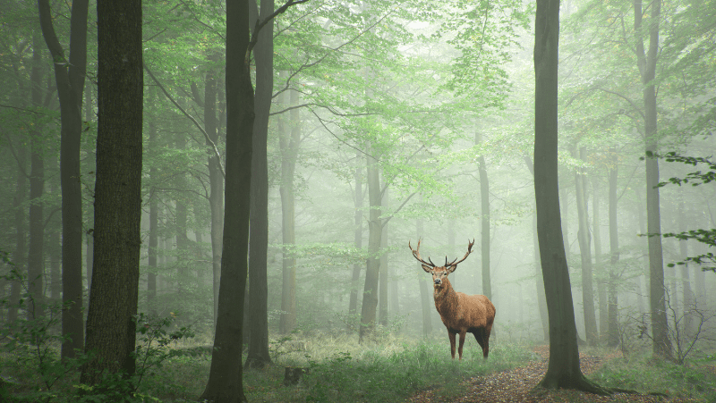 A stag in a foggy green forest