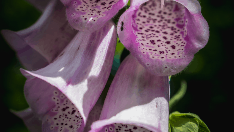 Foxglove flowers are extremely poisonous
