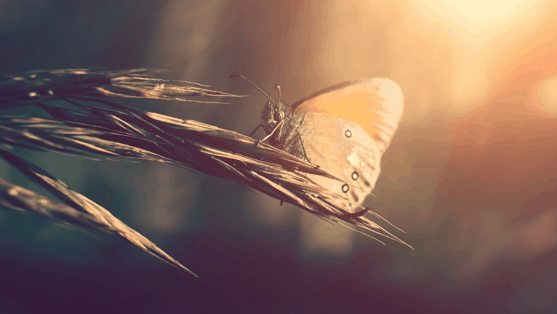 Moths symbolize frailty in many cultures and destruction in the Bible. This moth is perched on a plant during a sunset.