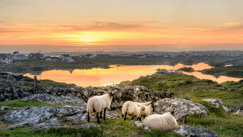Irish landscape with sheep and a lake and a sunset