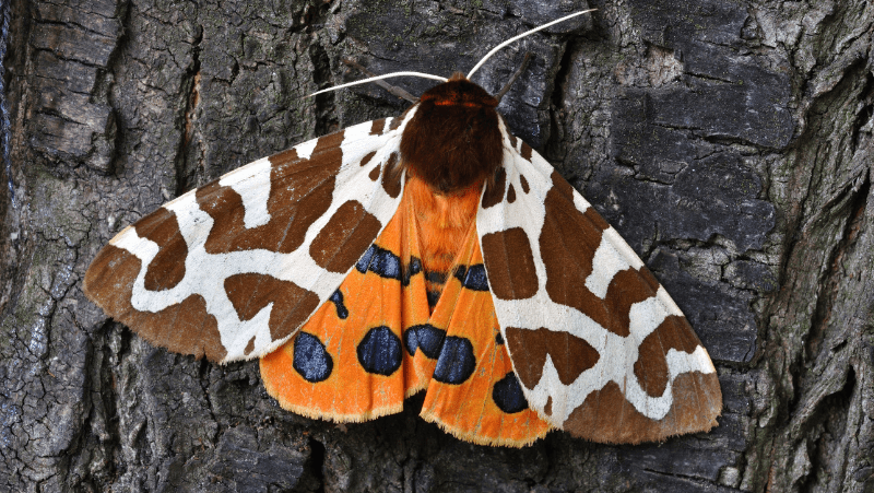 A colorful orange moth on a tree