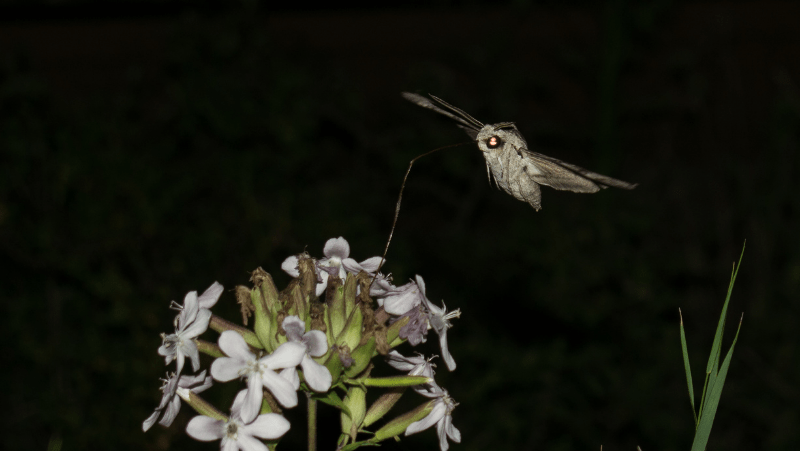 A moth sipping from flowers at night