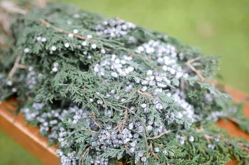 Preserved Juniper Plants
