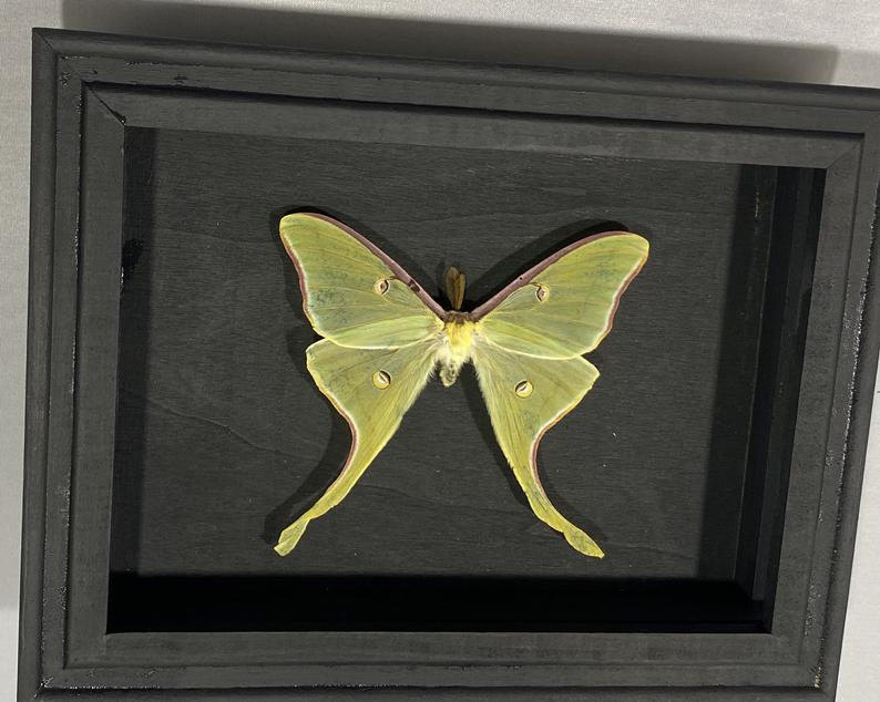 Shadow Box Green North American Luna Moth