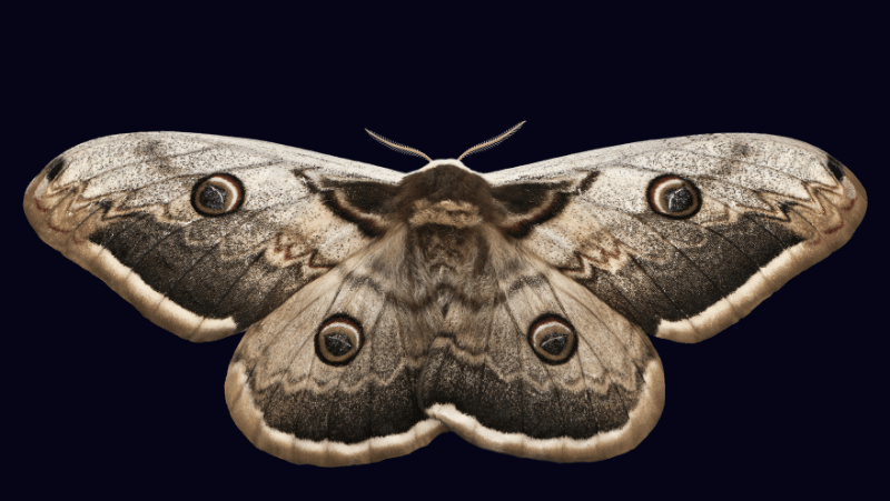 A moth on a dark blue background