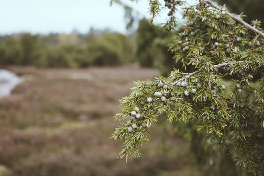 green leafed tree in macro shot. What are the Magical Properties Of Juniper?