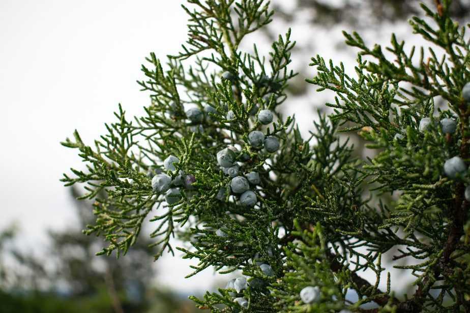 Juniper berries in Northern California. May 2020