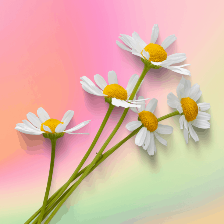 Chamomile flowers on a rainbow background