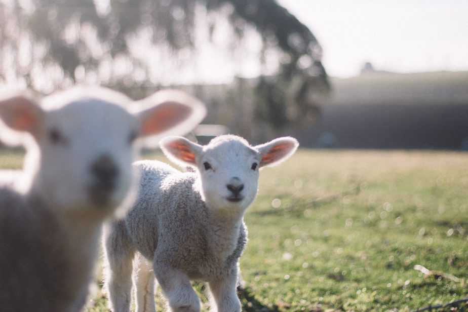 Two lambs on a field during Imbolc
